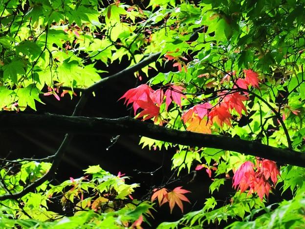 モミジの実と紅葉
