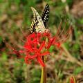 誇らしげなアゲハ蝶