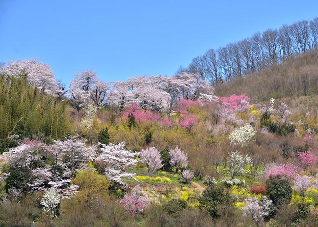 花見山2016