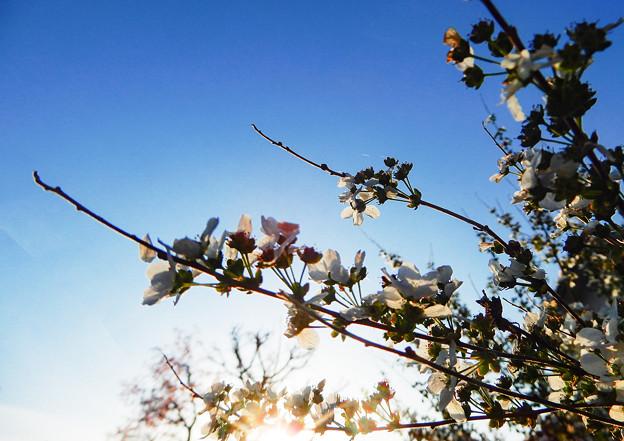 花の終わりのユキヤナギ