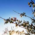 Photos: 花の終わりのユキヤナギ