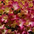 Photos: 庭の紫陽花 赤