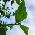 Photos: 葉の緑