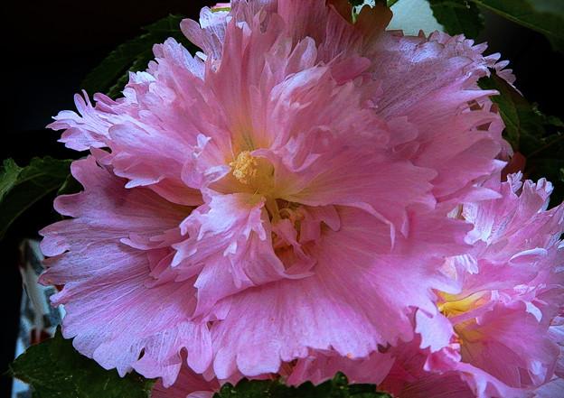 Photos: 八重咲立葵
