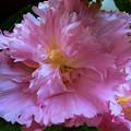 八重咲立葵