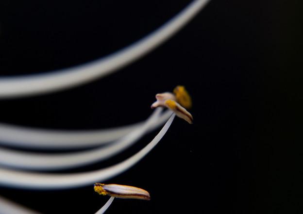 Photos: やくと花糸