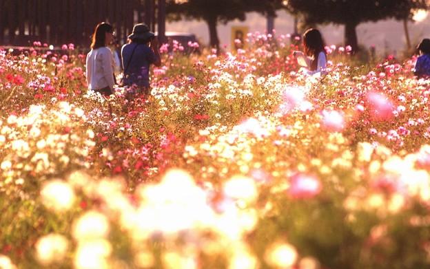 笠尾ベイファームの秋桜05