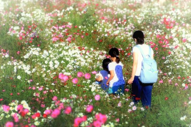 笠尾ベイファームの秋桜03