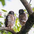 Photos: アオバズクの幼鳥 1