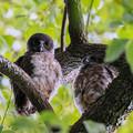 Photos: アオバズクの幼鳥 2