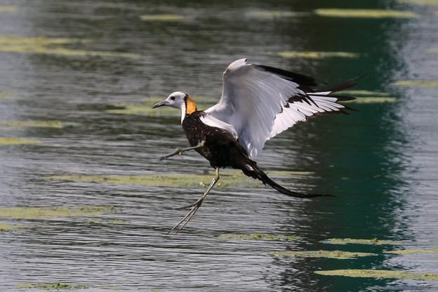 レンカクの飛翔 2