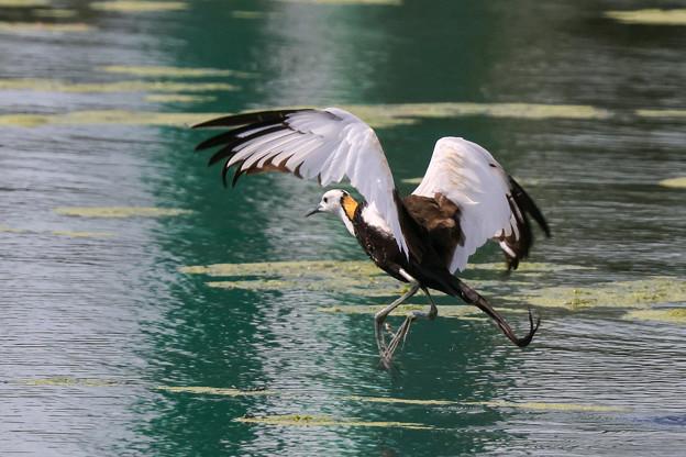 レンカクの飛翔 4