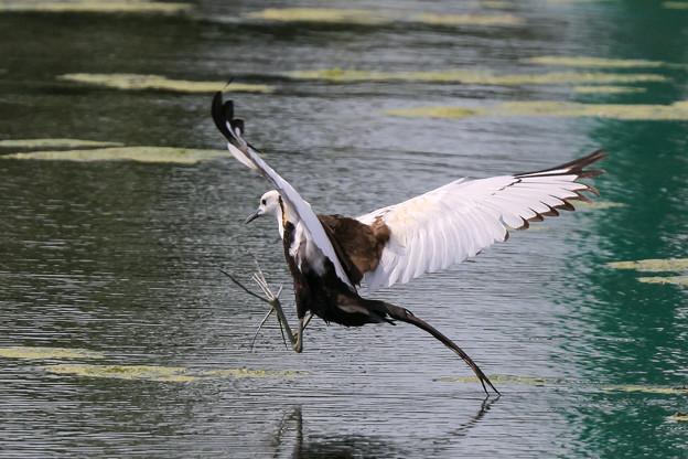 レンカクの飛翔 5