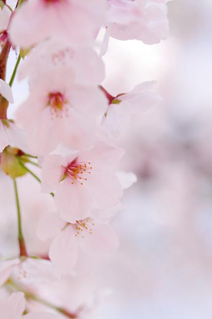 さくら咲く 2021 file-002