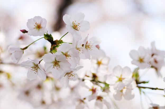 さくら咲く 2021 file-003