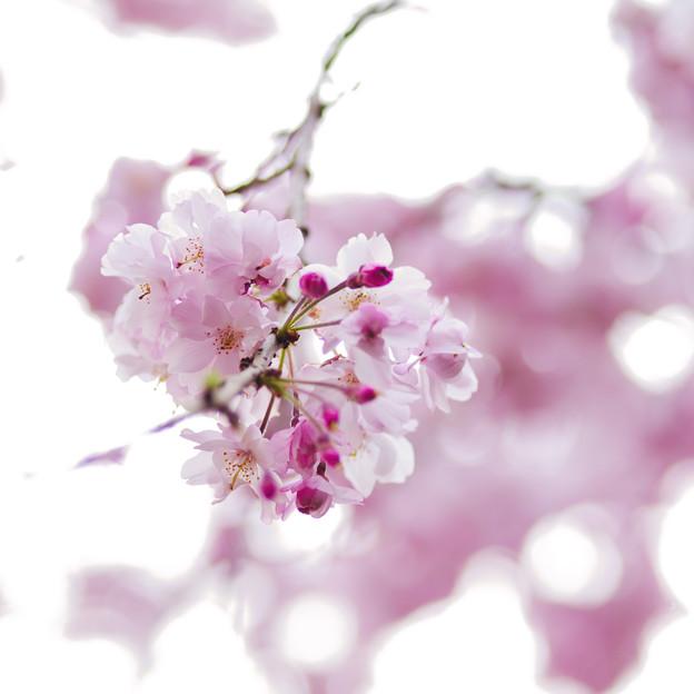 さくら咲く 2021 file-005