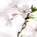 さくら咲く 2021 file-011