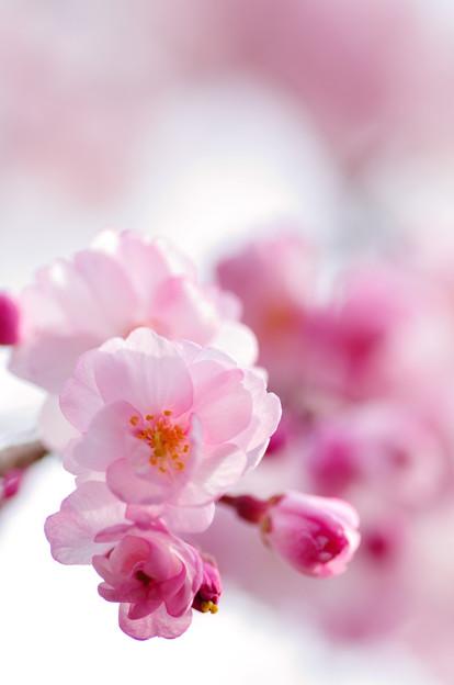 さくら咲く 2021 file-012