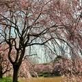 枝垂れ桜の遊歩道