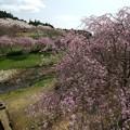 枝垂れ桜、ソmケイヨシノ、ヤマザクラ饗宴