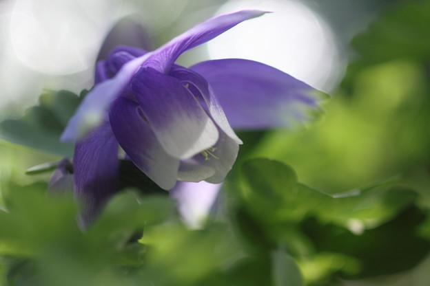 我が家の花(オダマキ21)