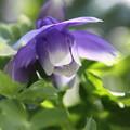 我が家の花(ヤマオダマキ)縦位置にて