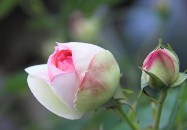 我が家の花(ツルバラ)