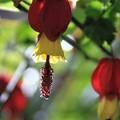 我が家の花(5月のチロリアンランプ)