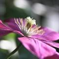 我が家の花(クレマチス)
