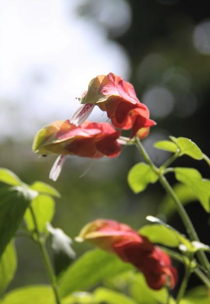 我が家の花(コエビソウ)