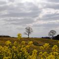 菜の花フィールド 曇空
