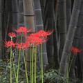 竹やぶの曼珠沙華