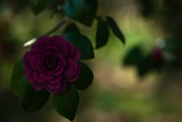 紫色のツバキ