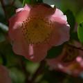 桃色のツバキ