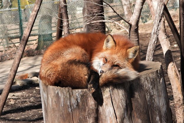 キツネの昼寝~