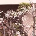 Photos: 我が家の梅!