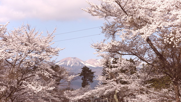 桜に吾妻連峰が!