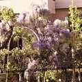 玄関前の藤お花