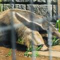 Photos: オオアリクイのヒナ