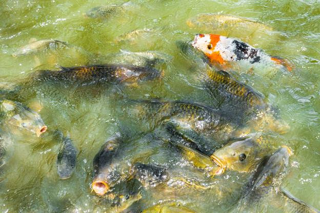 栗ヶ谷池溜池のコイ