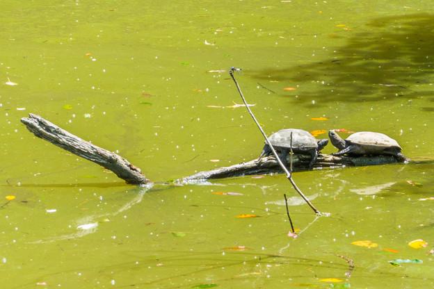 栗ヶ谷池溜池のカメ