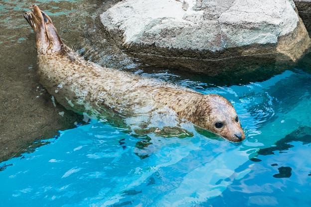猛獣館299 ゴマフアザラシのプール