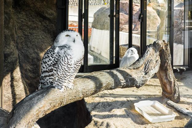 シロフクロウのアナとハリー