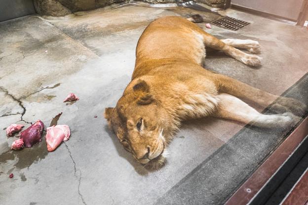 ライオンのムール