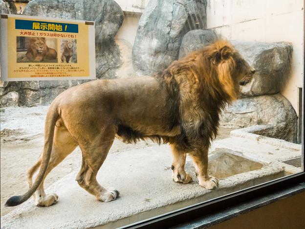 ライオンのギル