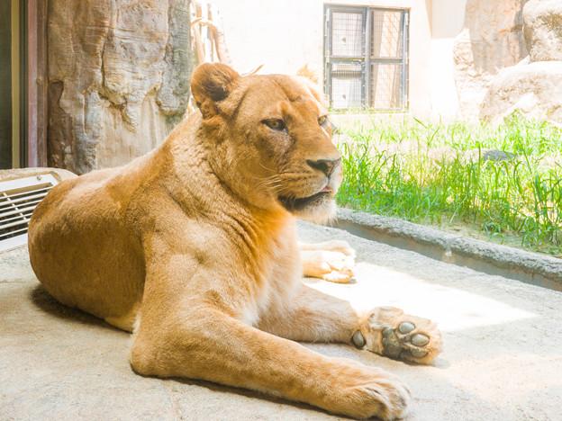 ライオンのマッチ