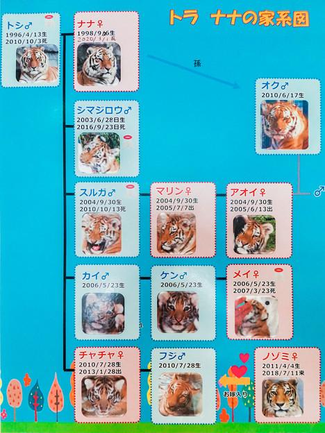猛獣館299 トラの家系図