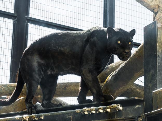 ブラックジャガーの小梅
