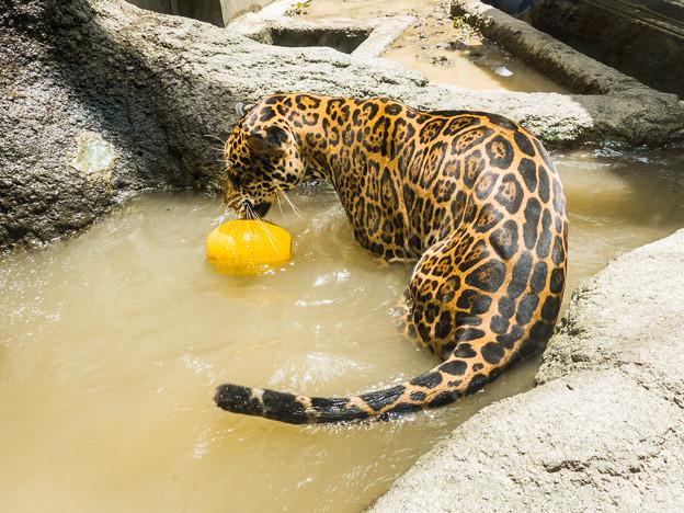 ジャガーの卯月小助