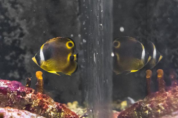 チョウハン(幼魚)